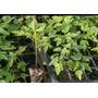 Plantulas De Lechosa Maradol