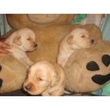 Bellos Cachorros Golden