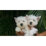 Cachorras West Highland Terrier Con Pedigree (solo Hembra)