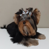 Yorkshire Terrier Cachorros Teacup Machos Hembras Pedigree