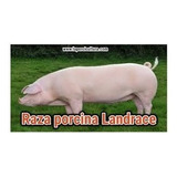 Cerdos Lechones Raza Landrace