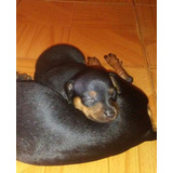 Pincher Miniatura Cachorro Macho Perro Mascota 60$