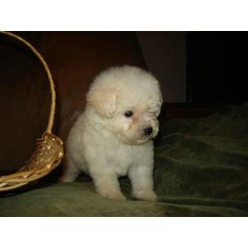 Vendo Espectaculares Cachorros Poodle Tea Cup Color Blancos