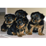 Excelentes Cachorros Yorkshire Linea Mini Hembras Y Machos