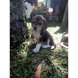 En Venta Cachorros Beagle Tricolor 13 Pulgadas