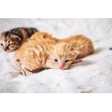 Gato Atigrados En Adopcion