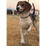 Perro Beagle Busca Novia Para La Monta