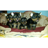 Cachorros Yorkshire Mini