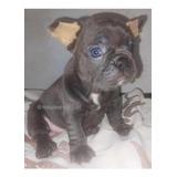 Cachorra Bulldog Francés Hembra Exótica Blue