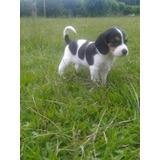 Cachorras Beagles Tricolor