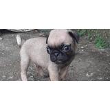 Cachorros Pug Carlinos