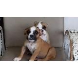 Bulldog Inglés  Con Pedigrí