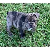 Bulldog Inglés Exóticos Blue Merlet Y Black And White