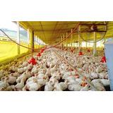 Manual Para La Cria De Pollos, Tambien Lo Vendo Beneficiados