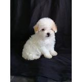 Hermosos Cachorros Poodles Mini Toys Garantizado