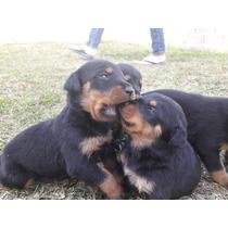Cchorros Rottweiler