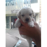 Cachorros Poodle Míni Toy