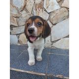 Beagles 22/05