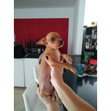 Perros Pincher