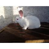 Manual Para Reproducción - Conejos Como Los Deseas