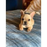 Cachorro Bulldog Francés Macho Con Pedigree