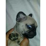 Cachorro Hembra Pug Carlino 100% Puros Padres A La Vista