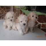 Poodles Mini Toy 100% Puros