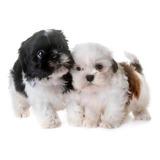 Shih Tzu Cachorros Perros Mascotas