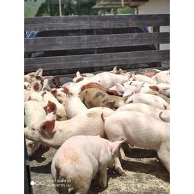 Cerdos Lechones De Excelente Genetica