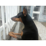 Ejemplares Rottweiler Y Doberman Con Pedigree