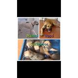 Cachorros De Fila Brasileros