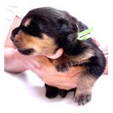 (rottweiler-venezuela) Cachorros Accesorios-veterinarios