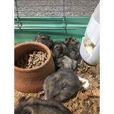 Hamster Enanos Rusos