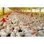 Proyecto 5000 Pollos En 42 Días Para Pedir Crédito Y Planos