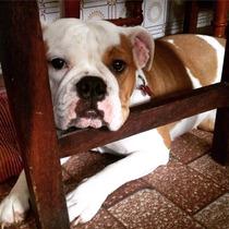 Vendo Cachorras Bulldog Ingles