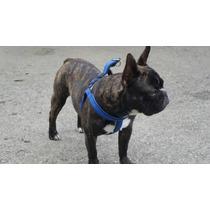 Bulldog Frances Para La Monta Con Pedigree