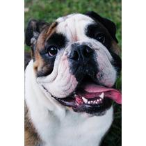 Se Busca Novia; Bulldog Ingles Con Pedigre