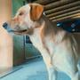Labrador Retriever Para La Monta