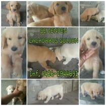 Cachorros, Golden, Perritos, Retriever, Mascotas