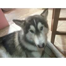 Lobo Siberiano ¡¡¡ Busca Novia !!!