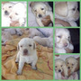 Cachorros Labrador Pedigree
