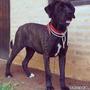 Cachorro Fila Brasilero