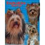 Preciosos Yorkshire Terrier Cachorros Machos