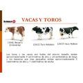 Vaca Y Toro De Coleccion Para Niños Y Adultos (schleich)