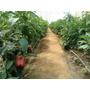 Fertilizante Hormona Hormoplant