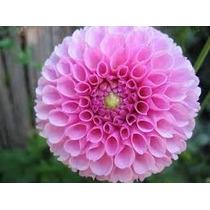 Semillas De Flores Dalias